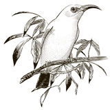Bird vector. Engraving illustration Royalty Free Stock Image