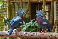 Bird,Victoria Crowned Pigeon - Goura victoria,Animal,Wildlife. Bird,Victoria Crowned Pigeon - Goura victoria in Zoo of Thailand Stock Photography