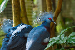 Bird,Victoria Crowned Pigeon - Goura victoria,Animal,Wildlife. Bird,Victoria Crowned Pigeon - Goura victoria in Zoo of Thailand Royalty Free Stock Photography