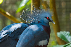 Bird,Victoria Crowned Pigeon - Goura victoria,Animal,Wildlife. Bird,Victoria Crowned Pigeon - Goura victoria in Zoo of Thailand Royalty Free Stock Photo