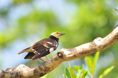Bird (Vinous-breasted Myna) Stock Images