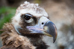 Bird vulture closeup in the afternoon. Head Stock Photo