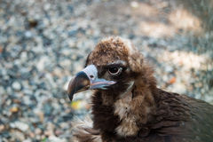 Bird vulture closeup in the afternoon. Head Royalty Free Stock Photography