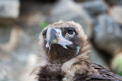 Bird vulture closeup in the afternoon. Head Stock Image