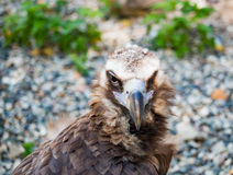 Bird Vulture closeup day. Head Stock Photos