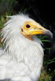 Bird vulture Royalty Free Stock Photos
