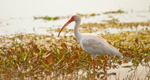 Bird Wading in lake stock photography