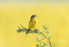 Free Bird Wagtail Flew On A Summer Flowering Meadow Clover And Stock Photography - 87801942