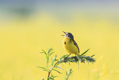 Bird Wagtail flew on a summer flowering meadow clover and sings Stock Photography