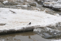 Wagtail on an ice floe Royalty Free Stock Photography