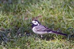 Bird Wagtail Motacilla alba in garden grass. In summer royalty free stock photography