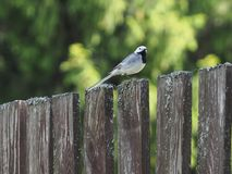 Bird Wagtail on the old fence stock photo