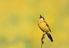 Bird the  Wagtail sings on the Sunny bright meadow Royalty Free Stock Image
