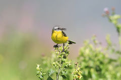 Bird Wagtail sitting on a branch with insect in its beak Royalty Free Stock Photography
