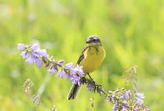 Bird Wagtail sitting on a branch with insect in its beak Royalty Free Stock Photos