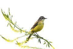 Bird Wagtail sitting on a branch yellow clover on a white isolated background. Yellow bird Wagtail sitting on a branch yellow clover on a white isolated stock photos