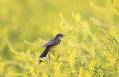 Bird Wagtail sitting on a flowered summer meadow clover a. Yellow bird Wagtail sitting on a flowered summer meadow clover and sings a song Royalty Free Stock Photo
