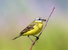 Bird Wagtail sitting on a meadow with insect in beak Royalty Free Stock Images