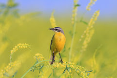 Bird Wagtail sitting on yellow sweet clover Royalty Free Stock Images