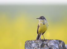 Bird the  Wagtail is on the stone in the meadow Stock Image