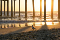 Bird Walking Beach Shore under Pier at Sunset Stock Photography