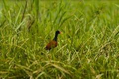 A bird walking in grass Stock Image