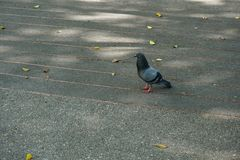 Bird walking in the park stock photography