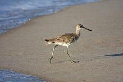 Bird walking on sandy beach Stock Photography