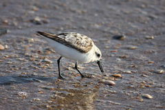 Bird walking on wet beach Royalty Free Stock Photo