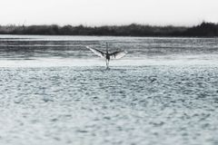 Bird walks on the water to take flight in the middle of nature Stock Photos