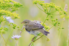 Bird Warbler sitting on a green meadow in summer Royalty Free Stock Photo