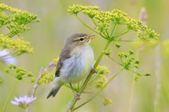 Bird Warbler sitting on a green meadow in summer Stock Images