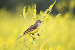 The bird was a Wagtail came for a summer flowering meadow yellow. Bird was a Wagtail came for a summer flowering meadow yellow clover and sings Stock Photography
