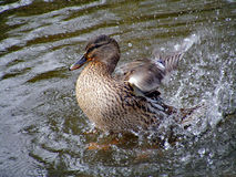 Bird washing Royalty Free Stock Image
