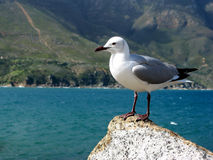 Bird Watcher. Single seagull standing proud on a rocky outcrop royalty free stock image