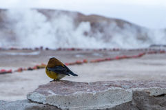 Bird watching geysers by morning Royalty Free Stock Photos