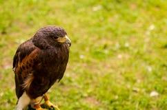 Bird-watching selvaggio del falco del ritratto un cacciatore animale tradizionale su un fondo verde Immagini Stock Libere da Diritti