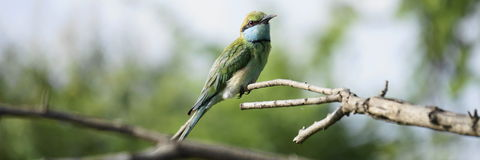 Bird-watching verde del ape-mangiatore sopra la foresta Fotografie Stock