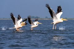 Pelican on lake from in Danube Delta , Romania wildlife bird watching. Bird watching wildlife in Danube Delta , Romania adventure stock photos