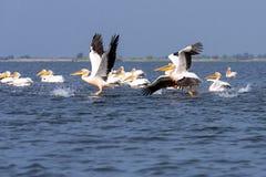 Pelican on lake from in Danube Delta , Romania wildlife bird watching. Bird watching wildlife in Danube Delta , Romania adventure stock images