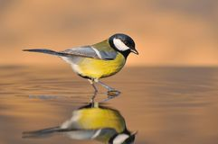 Bird on the water. Stock Photography