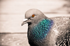 Bird by water. Pigeon with spot color by the lake Royalty Free Stock Image