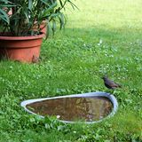 Bird at the water. Black redstart (Phoenicurus ochruros) bird standing at the water in the garden Royalty Free Stock Photo