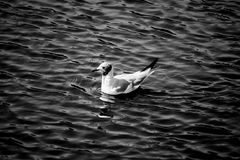Bird in water Royalty Free Stock Images