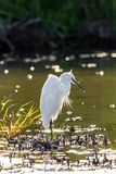 Bird, Water, Beak, Egret Royalty Free Stock Images
