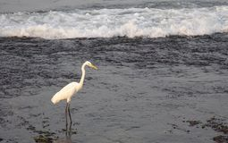 Bird, Water, Beak, Egret Royalty Free Stock Image