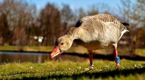 Bird, Water Bird, Beak, Ducks Geese And Swans Royalty Free Stock Photo