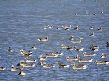 Bird, Water Bird, Fauna, Flock royalty free stock photos