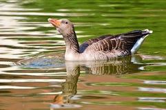 Bird, Water Bird, Fauna, Goose Royalty Free Stock Image