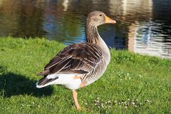 Bird, Water Bird, Fauna, Goose Stock Image